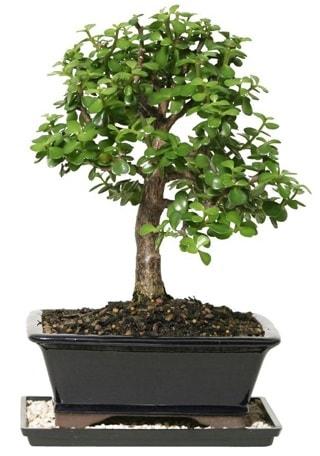 15 cm civarı Zerkova bonsai bitkisi  Bingöl Gölüm Çiçek çiçek siparişi sitesi