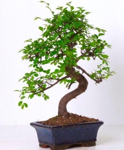 S gövdeli bonsai minyatür ağaç japon ağacı  Bingöl Gölüm Çiçek çiçek gönderme sitemiz güvenlidir
