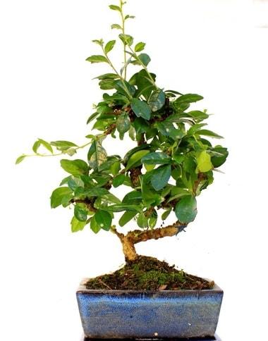 S gövdeli carmina bonsai ağacı  Bingöl Gölüm Çiçek çiçek yolla  Minyatür ağaç
