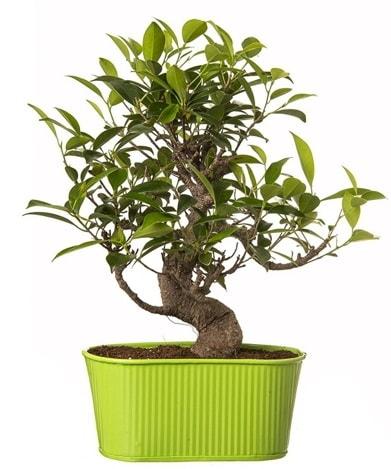 Ficus S gövdeli muhteşem bonsai  Bingöl Gölüm Çiçek çiçek siparişi sitesi