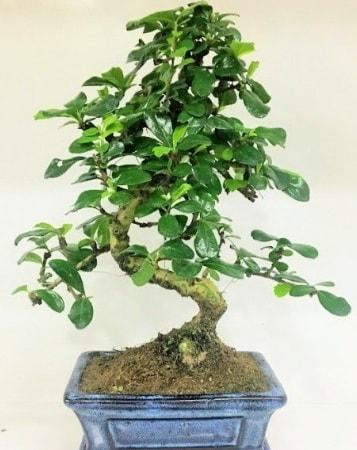 Zelkova S gövdeli Minyatür ağaç Bonzai  Bingöl Gölüm Çiçek çiçek gönderme