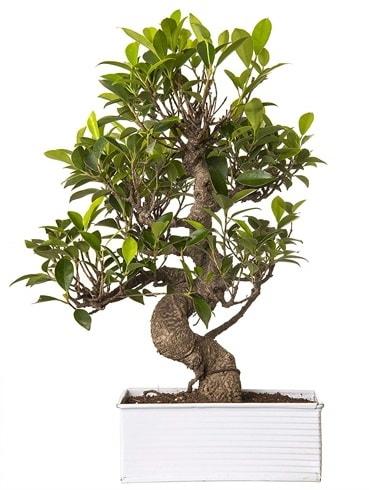 Exotic Green S Gövde 6 Year Ficus Bonsai  Bingöl Gölüm Çiçek çiçek gönderme sitemiz güvenlidir