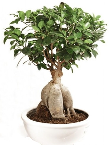 Ginseng bonsai japon ağacı ficus ginseng  Bingöl Gölüm Çiçek İnternetten çiçek siparişi